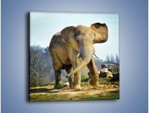 Obraz na płótnie – Ciężkie życie słonia – jednoczęściowy kwadratowy Z273