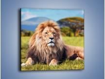 Obraz na płótnie – Dostojny lew na sawannie – jednoczęściowy kwadratowy Z282