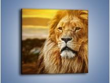 Obraz na płótnie – Dojrzały wiek lwa – jednoczęściowy kwadratowy Z303