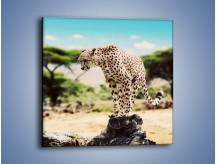 Obraz na płótnie – Cała zwinność geparda – jednoczęściowy kwadratowy Z315