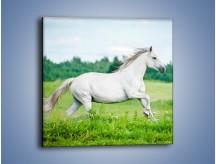 Obraz na płótnie – Biały koń i leśna polana – jednoczęściowy kwadratowy Z317