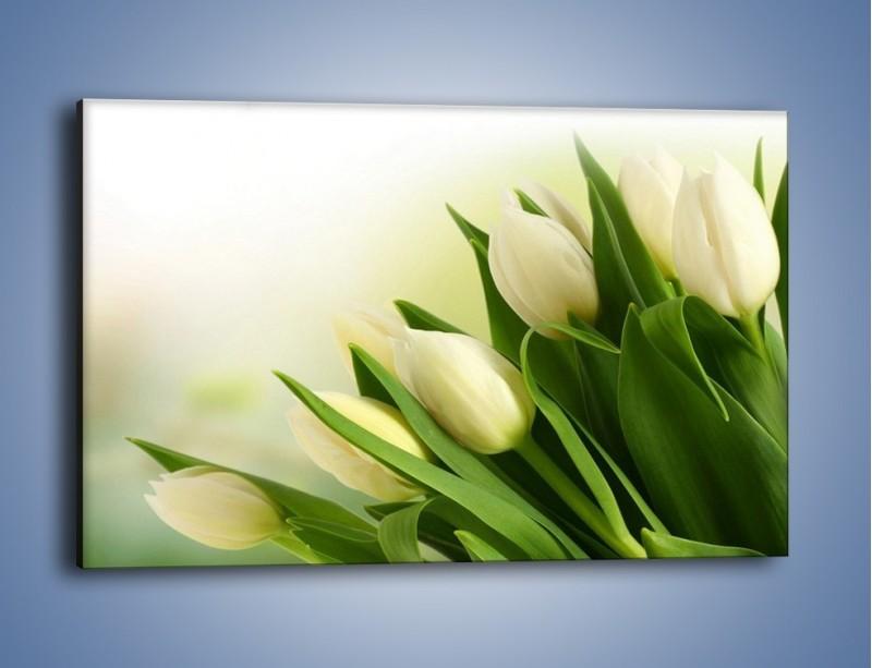 Obraz na płótnie – Białe tulipany na zgodę – jednoczęściowy prostokątny poziomy K400