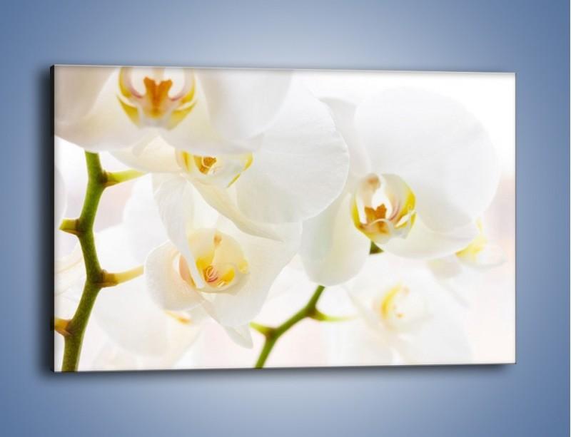 Obraz na płótnie – Białe storczyki blisko siebie – jednoczęściowy prostokątny poziomy K811