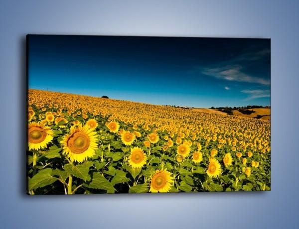 Obraz na płótnie – Słonecznikowe uśmiechnięte główki – jednoczęściowy prostokątny poziomy KN205