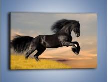 Obraz na płótnie – Czarny koń w galopie – jednoczęściowy prostokątny poziomy Z008
