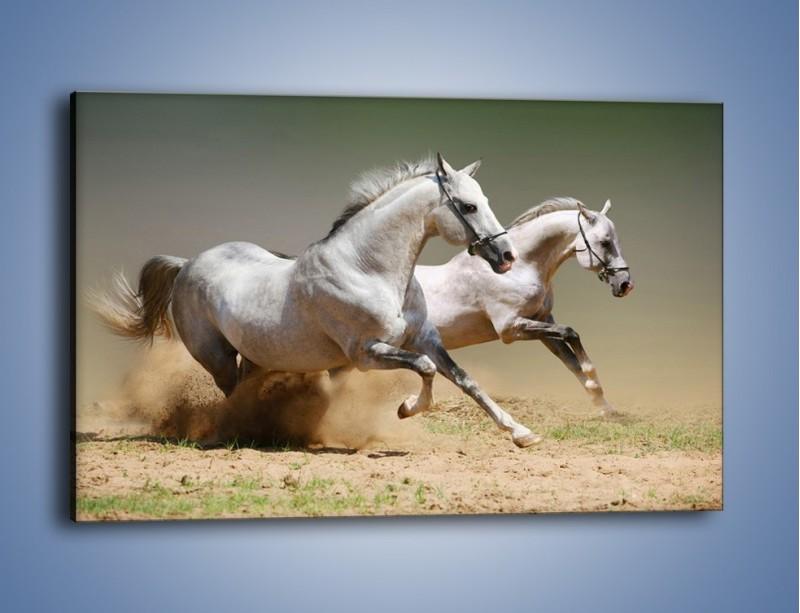 Obraz na płótnie – Białe konie w pustynnym galopie – jednoczęściowy prostokątny poziomy Z055