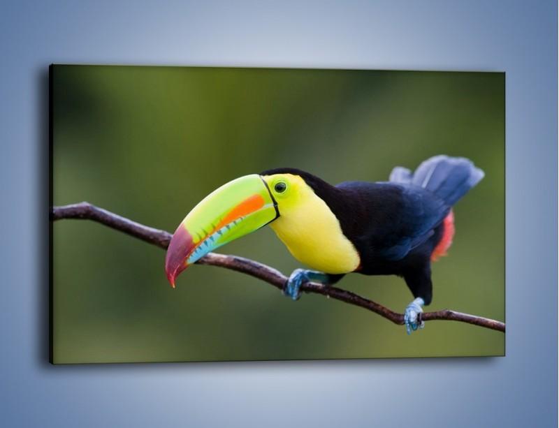 Obraz na płótnie – Tukan na cienkiej gałązce – jednoczęściowy prostokątny poziomy Z082