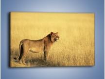 Obraz na płótnie – Czujny wzrok lwicy – jednoczęściowy prostokątny poziomy Z091