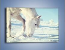 Obraz na płótnie – Arab w śnieżnym puchu – jednoczęściowy prostokątny poziomy Z144