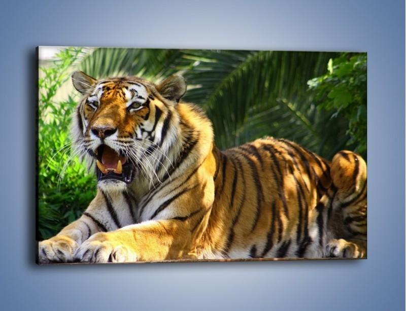 Obraz na płótnie – Cała duma tygrysa – jednoczęściowy prostokątny poziomy Z199