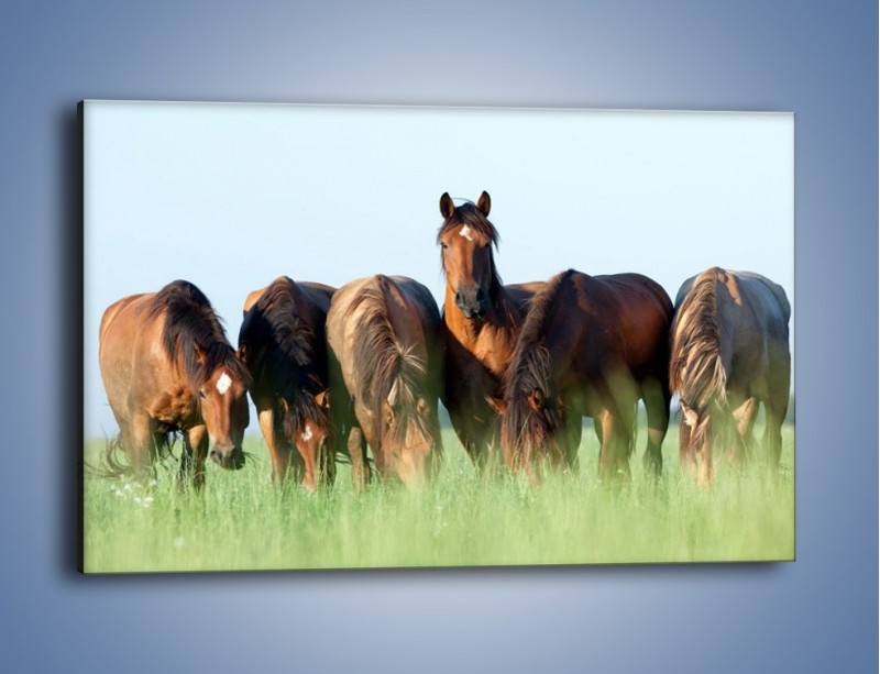 Obraz na płótnie – W stadzie koni ktoś rządzi – jednoczęściowy prostokątny poziomy Z231