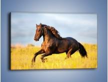 Obraz na płótnie – Dziki koń i jego mięśnie – jednoczęściowy prostokątny poziomy Z232