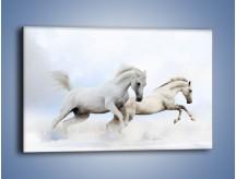 Obraz na płótnie – Białe konie i biały śnieg – jednoczęściowy prostokątny poziomy Z239