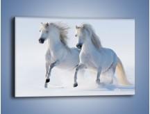 Obraz na płótnie – Gonitwa konna w bieli – jednoczęściowy prostokątny poziomy Z240