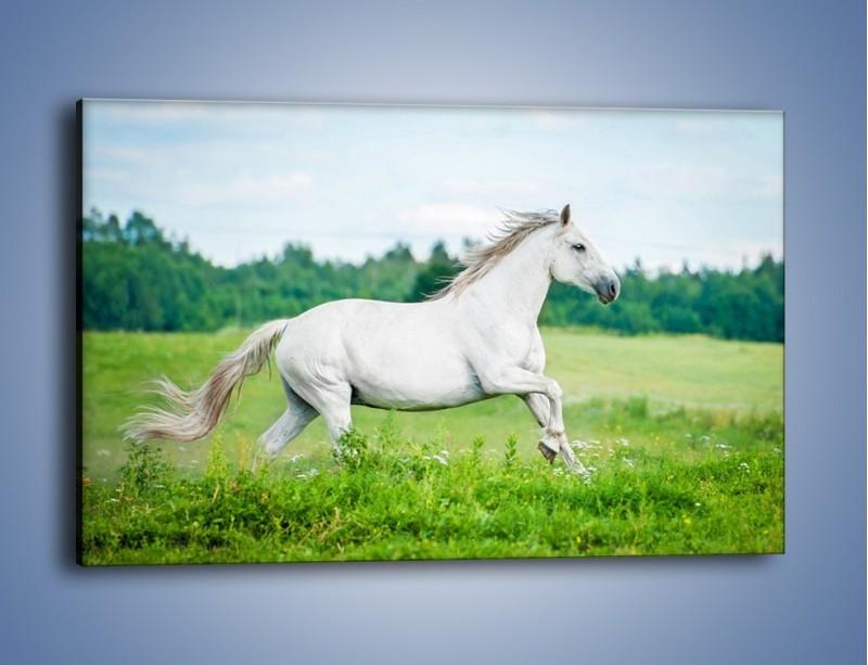 Obraz na płótnie – Biały koń i leśna polana – jednoczęściowy prostokątny poziomy Z317