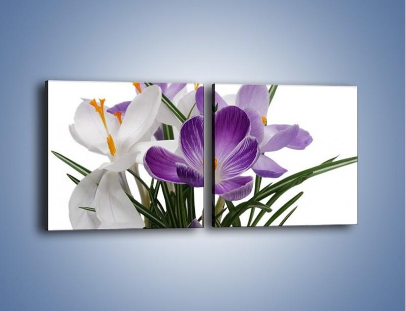 Obraz na płótnie – Biało-fioletowe krokusy – dwuczęściowy kwadratowy poziomy K020