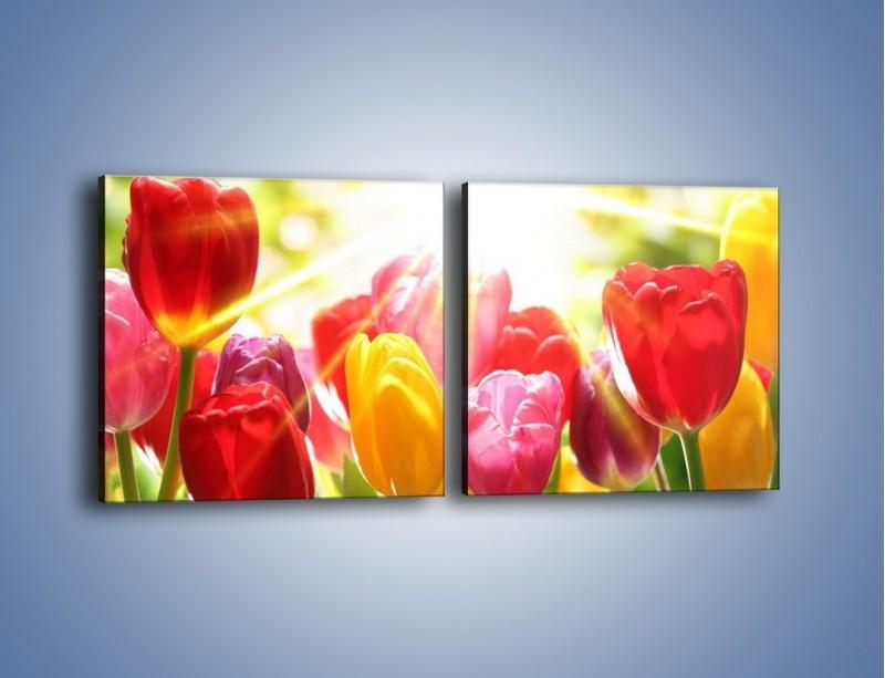 Obraz na płótnie – Bajecznie słoneczne tulipany – dwuczęściowy kwadratowy poziomy K428