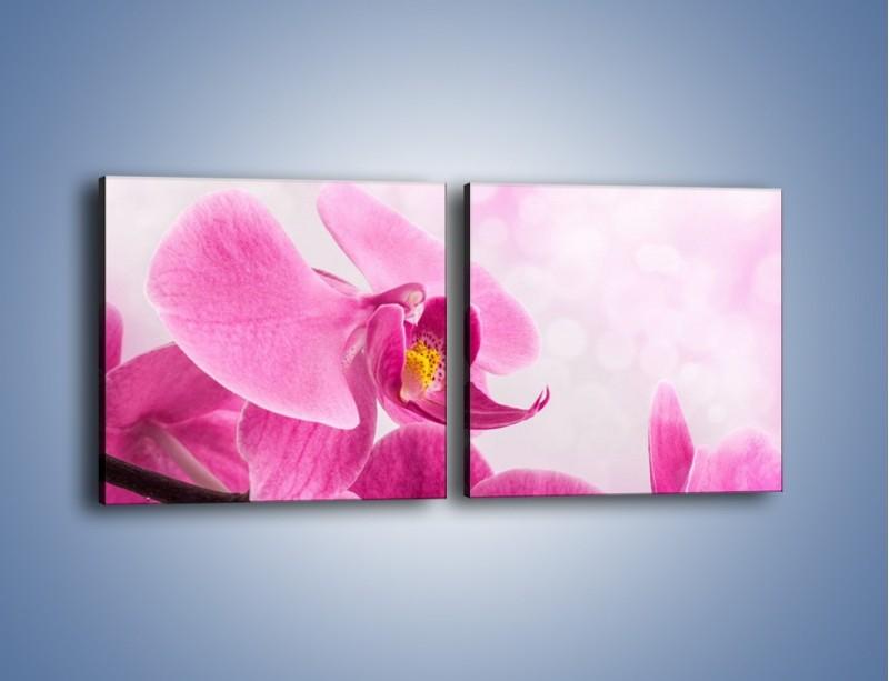 Obraz na płótnie – Ciemny róż w storczyku – dwuczęściowy kwadratowy poziomy K588
