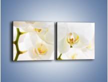 Obraz na płótnie – Białe storczyki blisko siebie – dwuczęściowy kwadratowy poziomy K811