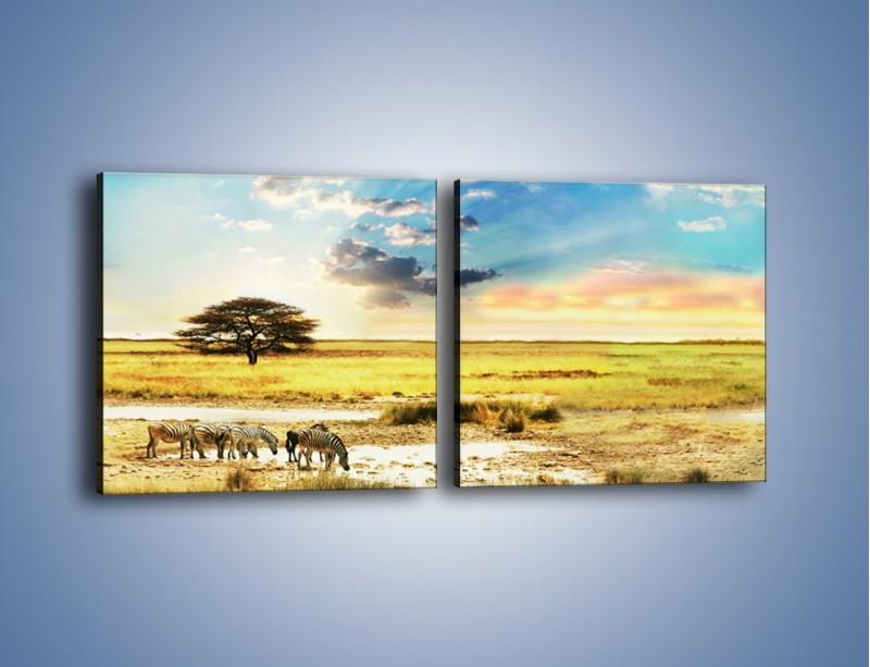 Obraz na płótnie – Zebry na sawannie – dwuczęściowy kwadratowy poziomy KN1298A