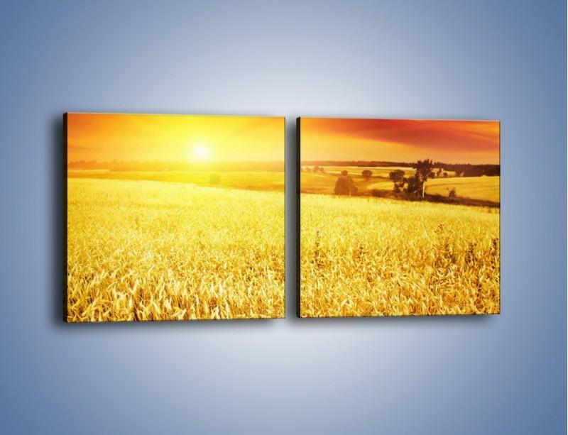 Obraz na płótnie – Zboże złote jak słońce – dwuczęściowy kwadratowy poziomy KN398