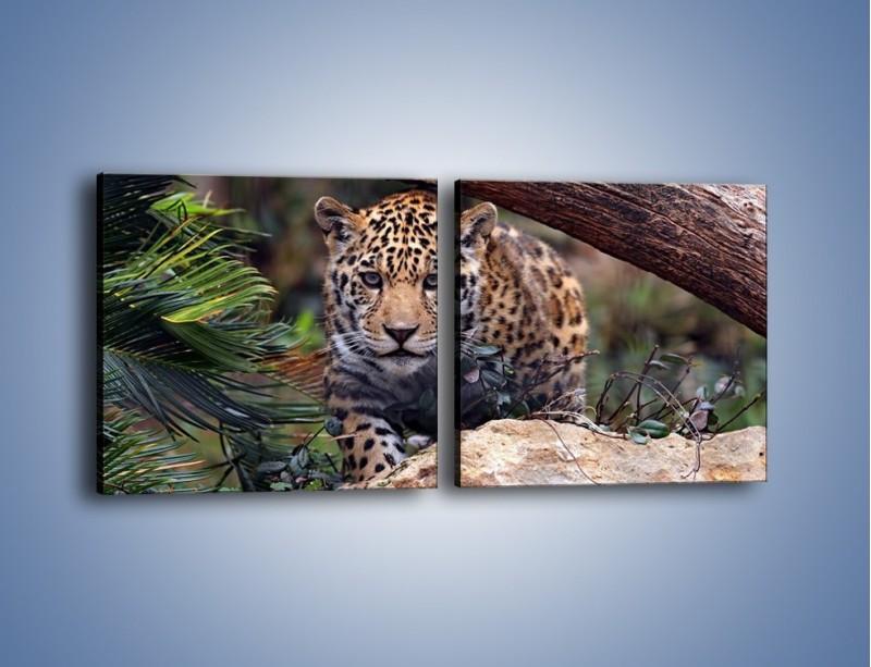 Obraz na płótnie – Jaguar w gotowości – dwuczęściowy kwadratowy poziomy Z198