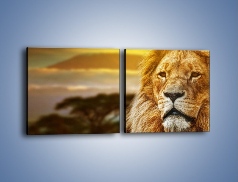 Obraz na płótnie – Dojrzały wiek lwa – dwuczęściowy kwadratowy poziomy Z303