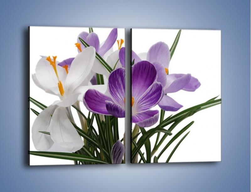 Obraz na płótnie – Biało-fioletowe krokusy – dwuczęściowy prostokątny pionowy K020