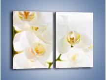 Obraz na płótnie – Białe storczyki blisko siebie – dwuczęściowy prostokątny pionowy K811