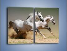 Obraz na płótnie – Białe konie w pustynnym galopie – dwuczęściowy prostokątny pionowy Z055