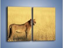 Obraz na płótnie – Czujny wzrok lwicy – dwuczęściowy prostokątny pionowy Z091