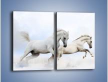 Obraz na płótnie – Białe konie i biały śnieg – dwuczęściowy prostokątny pionowy Z239