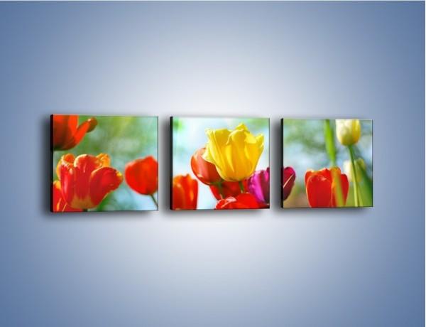 Obraz na płótnie – Pole polskich tulipanów – trzyczęściowy K011W1