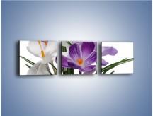 Obraz na płótnie – Biało-fioletowe krokusy – trzyczęściowy K020W1
