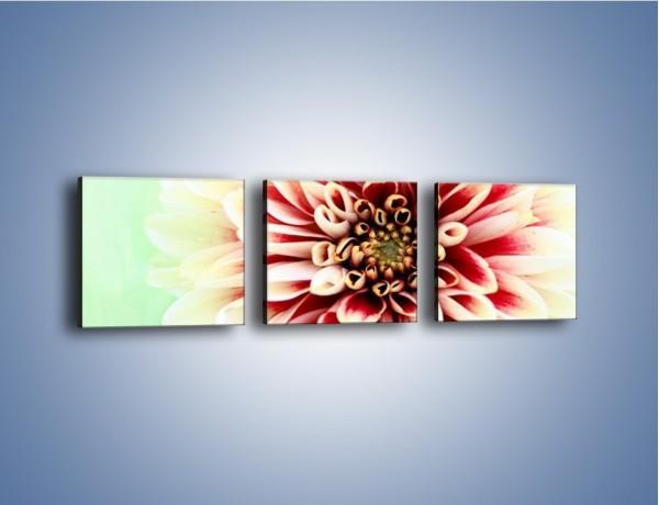 Obraz na płótnie – Rozwinięty jasny kwiat dalii – trzyczęściowy K098W1