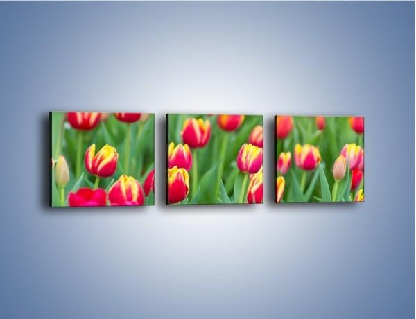 Obraz na płótnie – Spacer wśród czerwonych tulipanów – trzyczęściowy K231W1