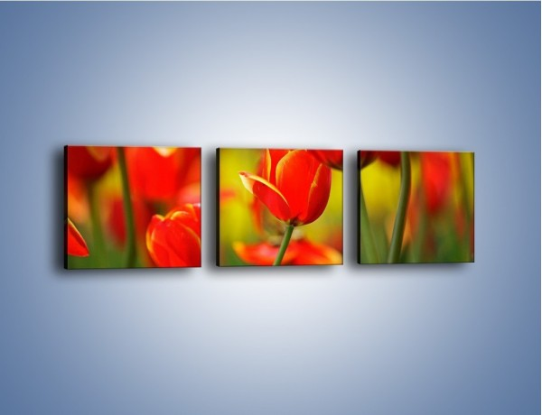 Obraz na płótnie – Wyraźny charakter tulipanów – trzyczęściowy K349W1