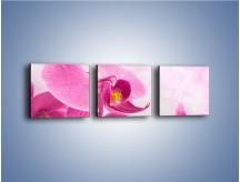Obraz na płótnie – Ciemny róż w storczyku – trzyczęściowy K588W1