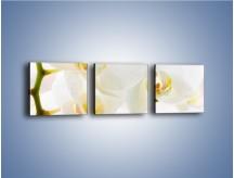 Obraz na płótnie – Białe storczyki blisko siebie – trzyczęściowy K811W1