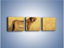 Obraz na płótnie – Czujny wzrok lwicy – trzyczęściowy Z091W1