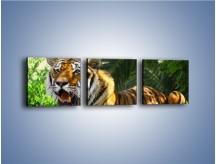 Obraz na płótnie – Cała duma tygrysa – trzyczęściowy Z199W1