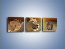Obraz na płótnie – Lwie zaloty – trzyczęściowy Z204W1