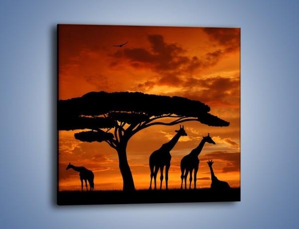 Obraz na płótnie – Żyrafy wieczorową porą – jednoczęściowy kwadratowy GR266