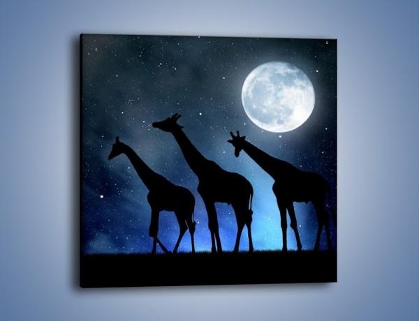 Obraz na płótnie – Żyrafie trio nocą – jednoczęściowy kwadratowy GR316