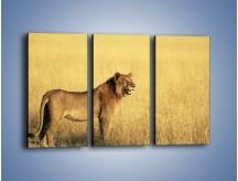 Obraz na płótnie – Czujny wzrok lwicy – trzyczęściowy Z091W2