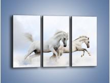 Obraz na płótnie – Białe konie i biały śnieg – trzyczęściowy Z239W2