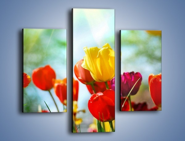 Obraz na płótnie – Pole polskich tulipanów – trzyczęściowy K011W3