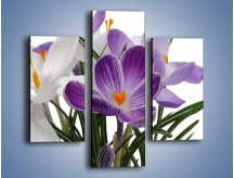 Obraz na płótnie – Biało-fioletowe krokusy – trzyczęściowy K020W3
