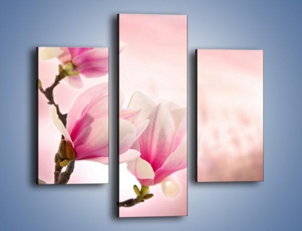 Obraz na płótnie – W pół rozwinięte biało-różowe magnolie – trzyczęściowy K033W3
