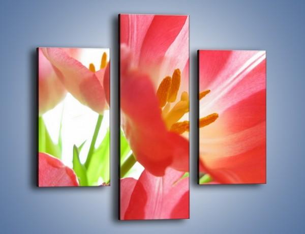Obraz na płótnie – Rozwinięty tulipan w słońcu – trzyczęściowy K188W3